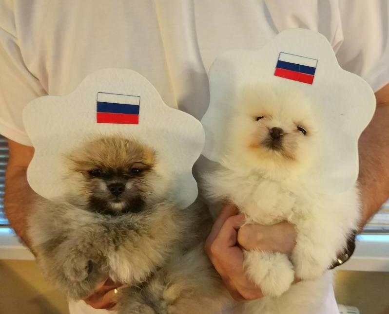 kokoshnik_puppies